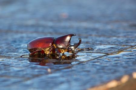 horn beetle: Rhinoceros beetle, Rhino beetle, Hercules beetle, Unicorn beetle, Horn beetle, outdoor. Close up Stock Photo