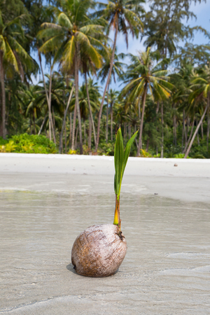 coconut seedlings: Coconut on the beach in island Koh Phangan, Thailand . Stock Photo