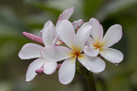 White Frangipani flower at full bloom during summer after the rain. Plumeria.