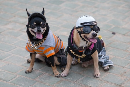perros vestidos: PATTAYA, Tailandia - 26 de octubre, 2013: Los perros pequeños vestidos en la ciudad turística calle de Pattaya
