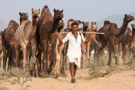 indian fair: PUSHKAR, INDIA - NOVEMBER 20, 2012 : Indian man and camels in Pushkar Camel Mela (Pushkar Camel Fair) in Pushkar, Rajasthan, India. This fair is the largest camel trading fair in the world Editorial