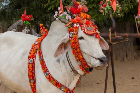 channeled: Decorated buffalo, who participated in the donation channeled ceremony Shinbyu, marking the samanera ordination of a boy under the age of 20. Bagan, Myanmar