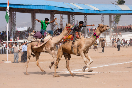 running camel: PUSHKAR, INDIA - NOVEMBER 21, 2012: Pushkar Camel Mela In India. This fair is the largest camel trading fair in the world. In the program of the fair is the camel race.