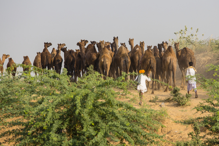 herder: PUSHKAR, INDIA - OCTOBER 28, 2014: Unidentified Indian men and herd camel attended the annual Pushkar Camel Mela. This fair is the largest camel trading fair in the world Editorial