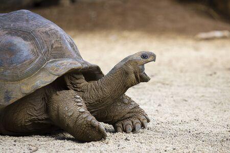 gigantea: Giant turtles, dipsochelys gigantea in La Vanille Nature Park, island Mauritius , Close up
