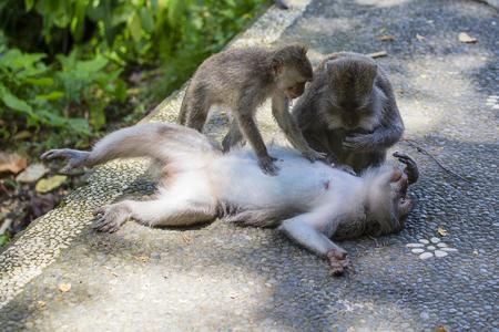 Monkey family at sacred monkey forest Ubud Bali Indonesia. Close up Stock Photo