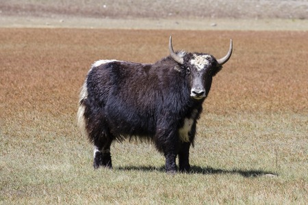 Powerful yak at the mountain in Annapurna circuit, Himalaya, Nepal