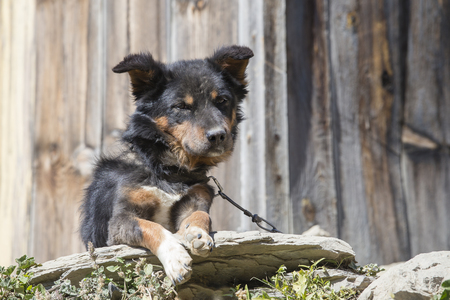 Mongrel dog on a chain outdoors. Dog in a private home. Nepal. Close up