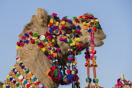 Decorated camel at Desert Festival in Jaisalmer, Rajasthan, India. Close up