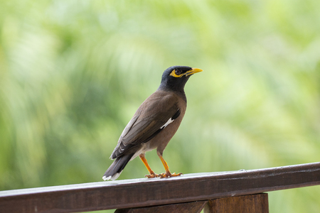 Portrait of a hill mynah, Gracula religiosa bird, the most intelligent bird in the world. Close up