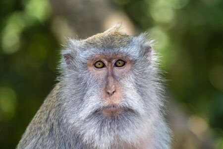 opinions: Portrait of a monkey who looks at the camera at sacred monkey forest in Ubud, Bali, Indonesia. Close up