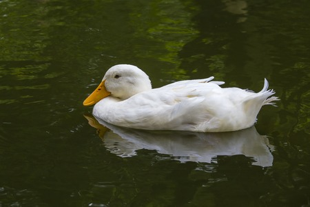 White duck in pond or lake with water background, close up