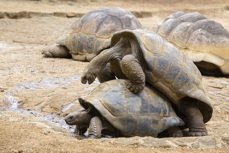 Two giant turtles, dipsochelys gigantea making love in island Mauritius. Copulation is a difficult endeavour for these animals, as the shells make mounting extremely awkward Stock Photo