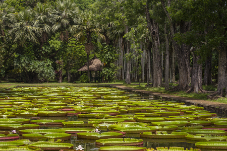 Giant water lily in Pamplemousse Botanical Garden. Island Mauritius . Victoria amazonica, Victoria regia