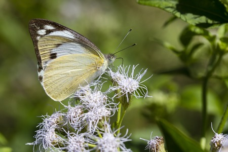 Beautiful butterfly probing a white wildflower blossom for nectar. Close up