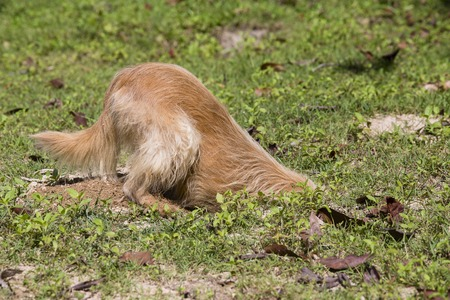 Hunting dog digs a hole in the yard, close up Stock Photo