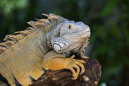 Close-up photo portrait of a big lizard reptiles Iguana in Island Mauritius