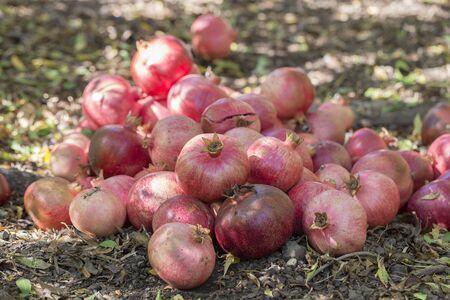 Organic, fresh, red garnet in garden, close up. Turkey