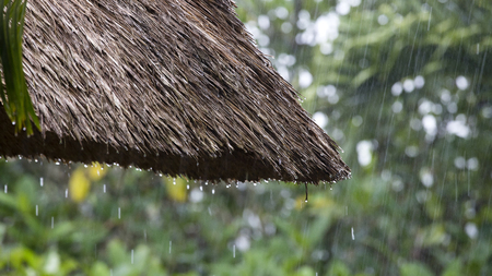 Tropical summer rain falling big rain drops falling down on straw roof in garden. Island Bali, Ubud, Indonesia. Close up