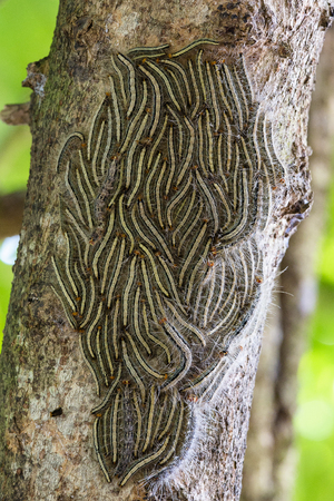 Oak processionary moth - Thaumetopoea processionea caterpillars on the tree in summer, close up