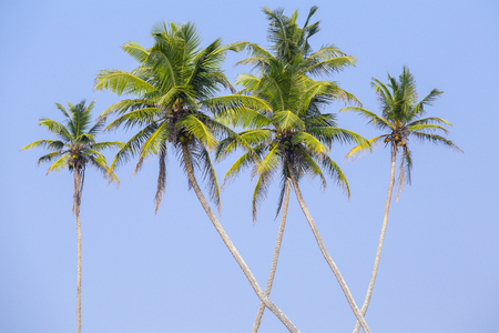 Coconut palm trees is a bizarre shape against the blue sky ,Thailand