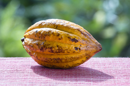 Cocoa bean, cocoa fruit, close up. Island Bali Indonesia Archivio Fotografico