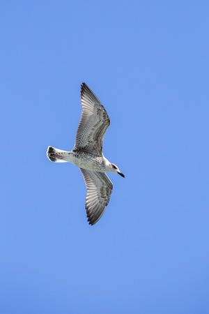 Seagull flying in the blue sky over the sea in front of Istanbul, Turkey