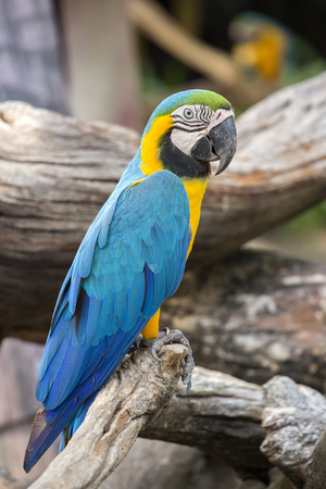Blue and Yellow Macaw Parrot , Ara ararauna , also known as the Blue and Gold Macaw in Bangkok, Thailand. Close up Stock Photo
