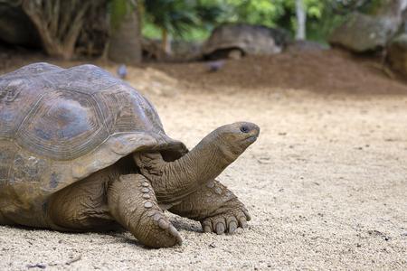 거 대 한 거북이, 열 대 섬 모리셔스에서 dipsochelys gigantea가 까이 서