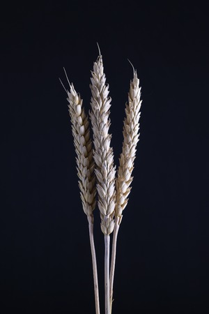 Three stems of wheat on a black background. Dry wheat spikelets on a dark background, close up Stock Photo