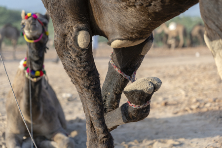 Camel with a tied foot in desert Thar during Pushkar Camel Fair, Rajasthan, India, close up