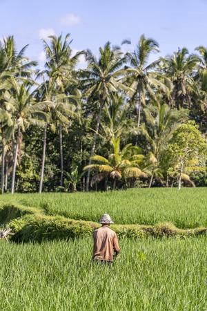 Old male farmer in a straw hat working on a green rice plantation. Landscape with green rice fields and old man at sunny day in Ubud, island Bali, Indonesia