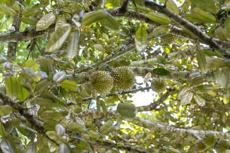 Durian tree, Fresh durian fruit on tree, Durians are the king of fruits, Tropical of asian fruit. Island Bali, Indonesia Imagens