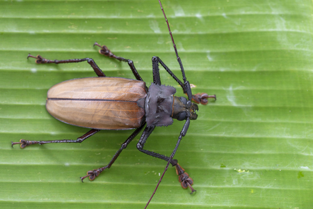 Giant Fijian longhorn beetle from island Koh Phangan, Thailand. Close up, macro. Giant Fijian long-horned beetle, Xixuthrus heros is one of largest living insect species.Large tropical beetle species Stock Photo