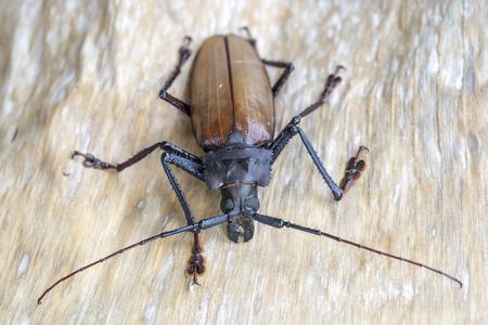 Riesiger Fidschi-Bockkäfer von der Insel Koh Phangan, Thailand. Nahaufnahme, Makro. Der riesige Fidschi-Langhornkäfer, Xixuthrus Heros, ist eine der größten lebenden Insektenarten. Große tropische Käferarten