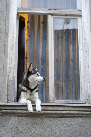 Siberian husky dog with blue eyes sits in the window and waits for the owner, close up
