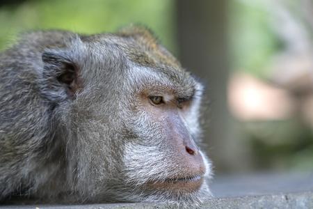 Monkey family at sacred monkey forest in Ubud, island Bali, Indonesia. Close up