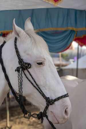 White marwari horse head portrait at Pushkar Fair, Pushkar Camel Mela in Rajasthan, India. Close up Stock Photo