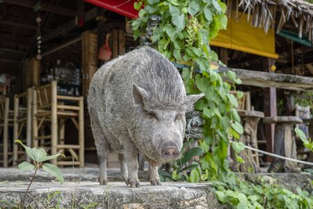 Big pig near the beach cafe on the island of Koh Phangan, Thailand. Close up Imagens