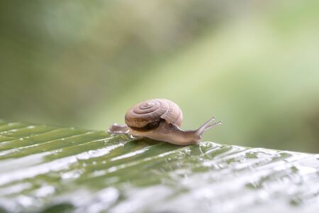 Snail in shell crawling on the green palm leaf after the rain, summer day in garden, close up, Thailand