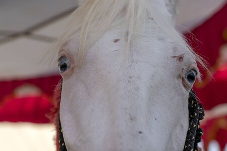 White marwari horse head portrait at Pushkar Fair, Pushkar Camel Mela in Rajasthan, India. Close up Standard-Bild