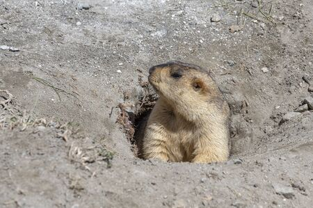 Funny marmot peeking out of a burrow in Himalayas mountain, Ladakh region, India. Nature and travel concept