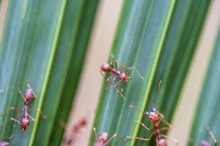 Red ants or fire ants on green palm leaf, Thailand, macro, close up Stock Photo