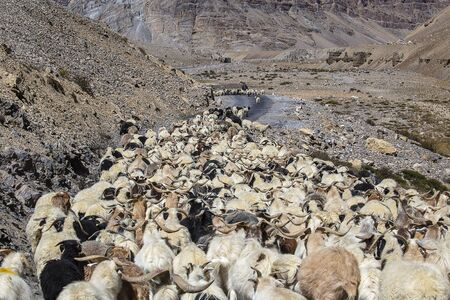Goats and sheep causing traffic in the Himalayas mountain along Leh to Manali highway, Ladakh, Jammu and Kashmir region, India. Nature and travel concept