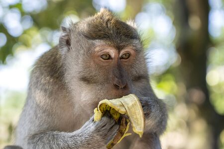 Wild monkey eat banana at sacred monkey forest in Ubud, island Bali, Indonesia. Monkey forest park travel landmark and tourist destination site in Asia where monkeys live in a wildlife environment