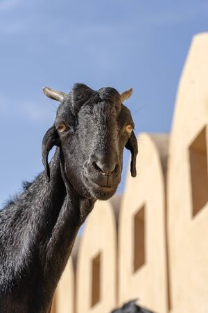 Black color goat at Amber fort in Jaipur, Rajasthan, India. Close up 版權商用圖片