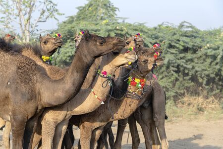 Large herd of camels in desert Thar during the annual Pushkar Camel Fair near holy city Pushkar, Rajasthan, India. This fair is largest camel trading fair in the world Banco de Imagens