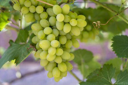 Branch of ripe grape in garden. Green sweet berries growing on grape bush in fruit garden. Close up Stockfoto