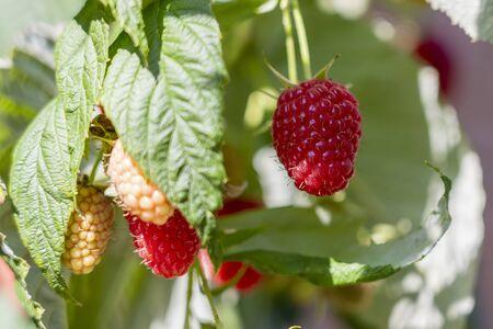 Branch of ripe raspberries in garden. Red sweet berries growing on raspberry bush in fruit garden. Close up