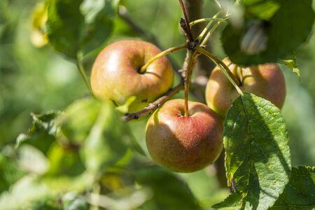 Branch of ripe apples on tree in garden. Sweet apples on tree in fruit garden. Close up